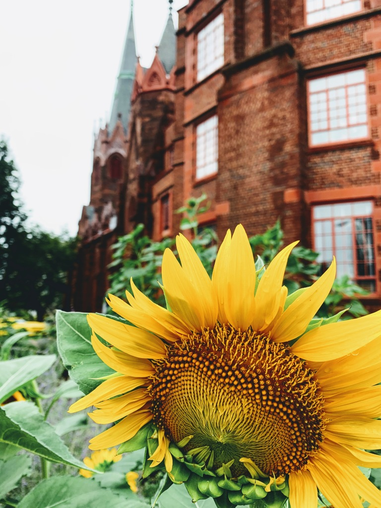 Sunflower in front of a brick church
